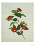 Painting- Japanese Camellia   19th Century