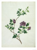 Shrubby Althaea   19th Century