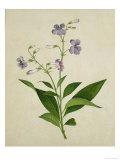 Bush Thunbergia  c1800-1840
