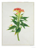 Botanical Illustration of a Red Flowering Plant