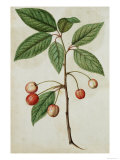 Botanical Study of Cherry