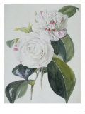 Botanical Watercolour: Camelia