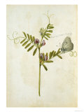 Vetch and Black Veined White Butterfly