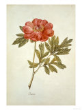 Botanical Study of a Peony