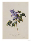 The Deep Purple Lilac  A Botanical Illustration