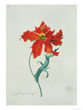 Perroquet Rouge  A Botanical Illustration