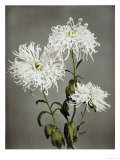 Chrysanthemum  19th Century