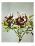 Tree Peony  19th Century