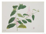 Drawing of a Flower  Pink Flowers with Large Green Leaves