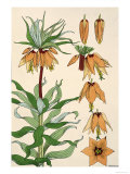 Botanical Diagram of Crown Imperial