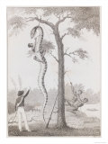 Print Engraving of the Skinning of the Aboma Snake