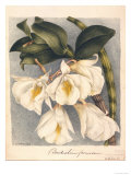 Botanical Watercolour: Orchid  Dendrobium Formosum