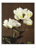 Herbaceous Peony  19th Century