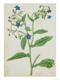 Botanical Study of Borage