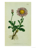 Alpine Astor  Botanical Picture