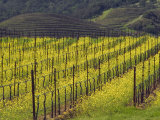 Springtime Mustard Flowers  Napa Valley  Oakville  California