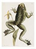 Bullfrog Natural History of Carolina  Florida and Bahamas