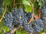 Vineyard Grapes  Calistoga  Napa Valley  California