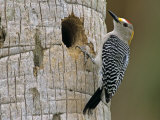 Golden-Fronted Woodpecker  Brownsville  Rio Grande Valley  Texas