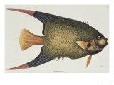 Angel Fish Natural History of Carolina  Florida  and Bahamas
