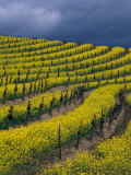 Springtime Mustard Blooms  Carneros Ava  Napa Valley  California