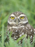 Burrowing Owl  Cape Coral  Florida
