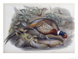 Chinese Ring Necked Pheasant