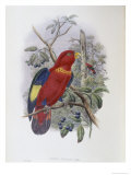 Blue  Thighed Lory