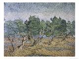 Olive Orchard  Violet Soil