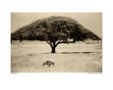 The Sheltering Tree  Serengeti