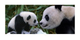 Panda Bear with Cub