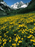 Field of Yellow Flowers with Mountains