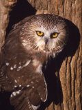 Saw Whet Owl on Tree