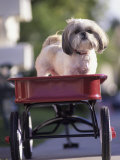 Dog in Little Red Wagon