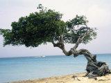 Divi Tree  Aruba