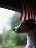 Jack Russell Terrier Near Window with American Flag