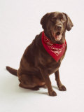 Chocolate Lab with Red Bandana