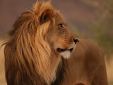 Male Lion  Namibia  South Africa
