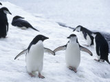 Adelie and Chinstrap Penguin  Antarctica