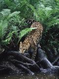 Amur Leopard  Panthera P Orientalis  Endangered