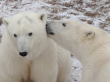 Polar Bears  Churchill  Manitoba