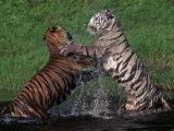 Bengal Tigers  Panthera Tigris  Endangered Species