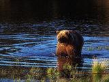 Grizzly Bear  Ursus Arctos Middendorffi  AK