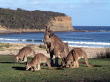 Group of Kangaroos Grazing  Australia