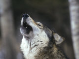 Gray Wolf Howling  Canis Lupus  MN