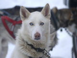 Dog at Dog Sled Race
