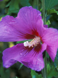 Hibiscus Syriacus  Russian Violet (Rose of Sharon)  with Raindrops