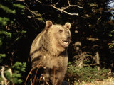 Grizzly Bear at Edge of Forest