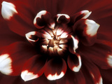 Dahlia  Duet (August)  Close-up of Red & White Flower