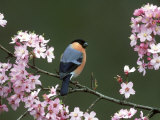 Bullfinch  Pyrrhula Pyrrhula  Male  Feeding on Cherry Blossom  UK